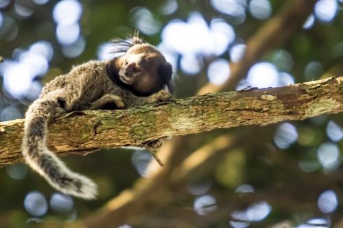 14-08-2015-17-35-04-animais-exoticos-mata-do-corrego-grande-saguis-foto-flavio-tin-0631